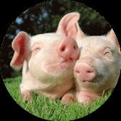 Cochons ferme animale Gers le Vallon des Rêves