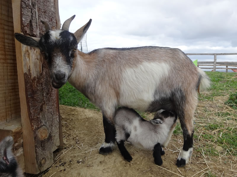 Parc Gers chèvre ferme le Vallon des Rêves