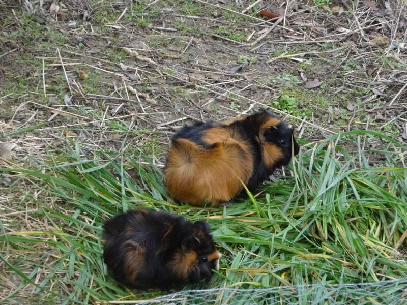 parc-gers-cochon-d-inde-ferme-levallondesreves-01