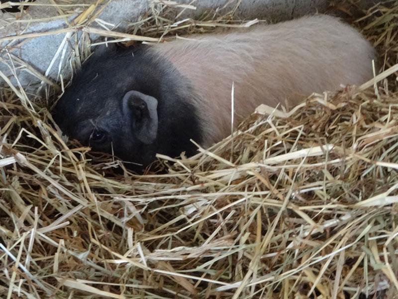 Parc Gers cochon ferme le Vallon des Rêves