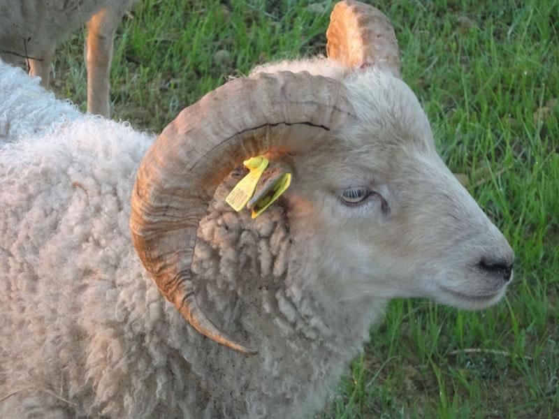parc-gers-mouton-ferme-levallondesreves-01