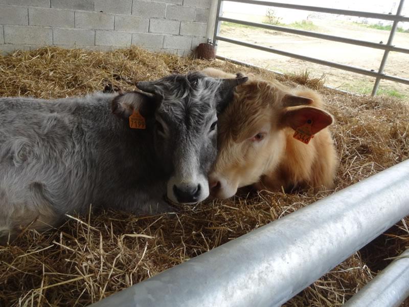 parc-gers-vache-ferme-levallondesreves-01