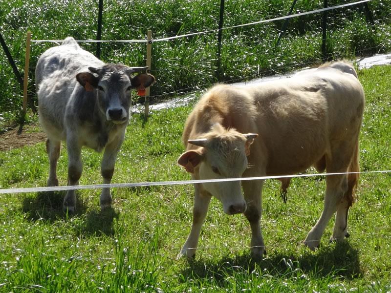 parc-gers-vache-ferme-levallondesreves-02