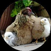 Poules ferme animale Gers le Vallon des Rêves